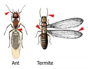Ant vs. Termite Comparison