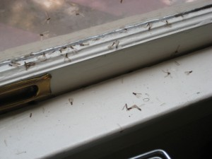 Drywood Termite Swarmers on Window Sill