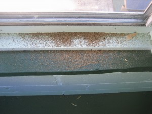 Drywood Termite Pellets on Window Sill