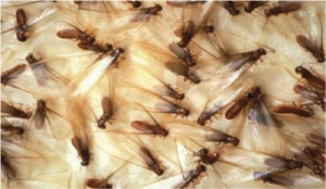 Drywood Termite Swarmer, immature and pellets