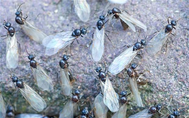 flying-ants