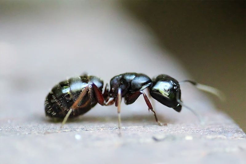 ant control tampa