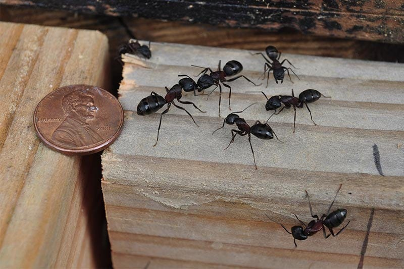 carpenter ants in tampa