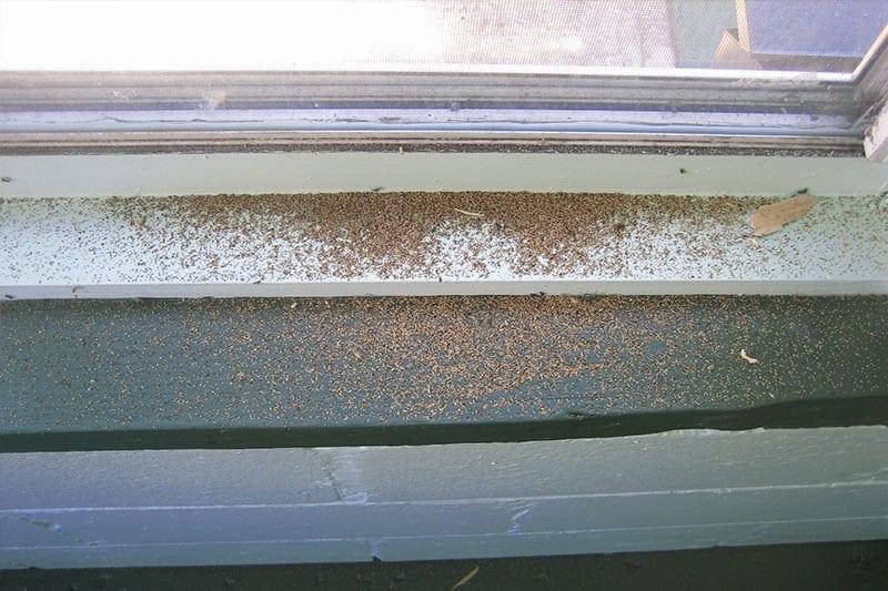 Drywood Termite Pellets on Window Sill