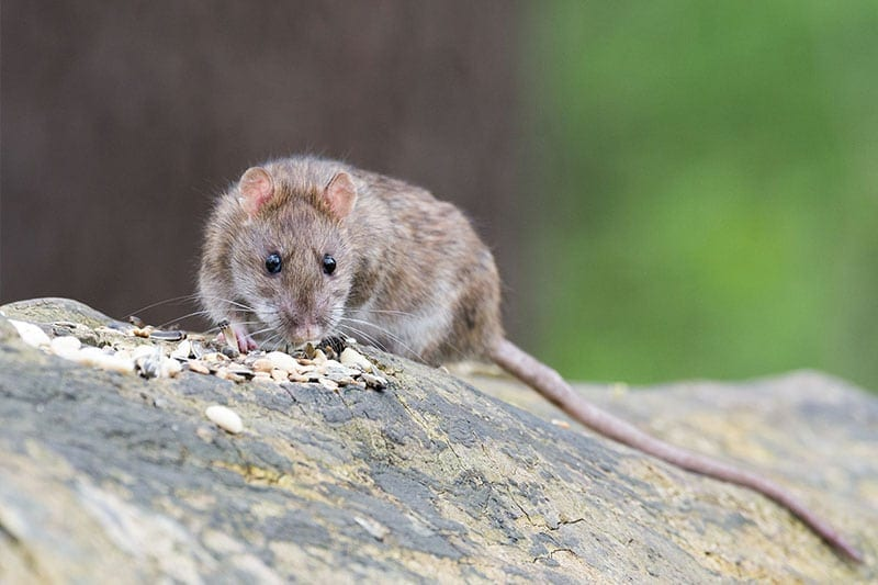 Rodent Control Tampa