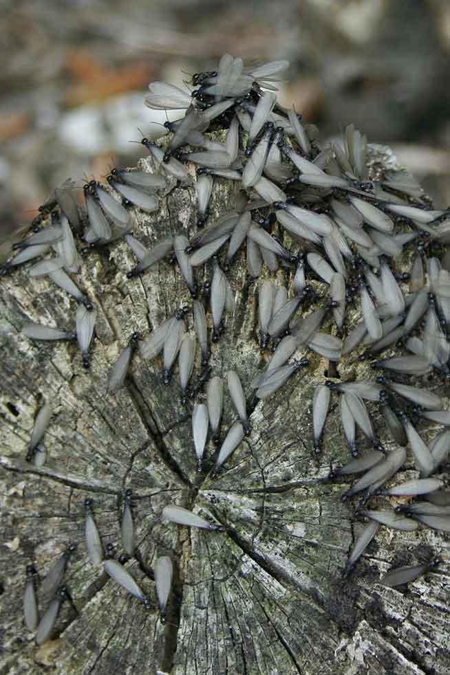 Termites in Tampa, FL