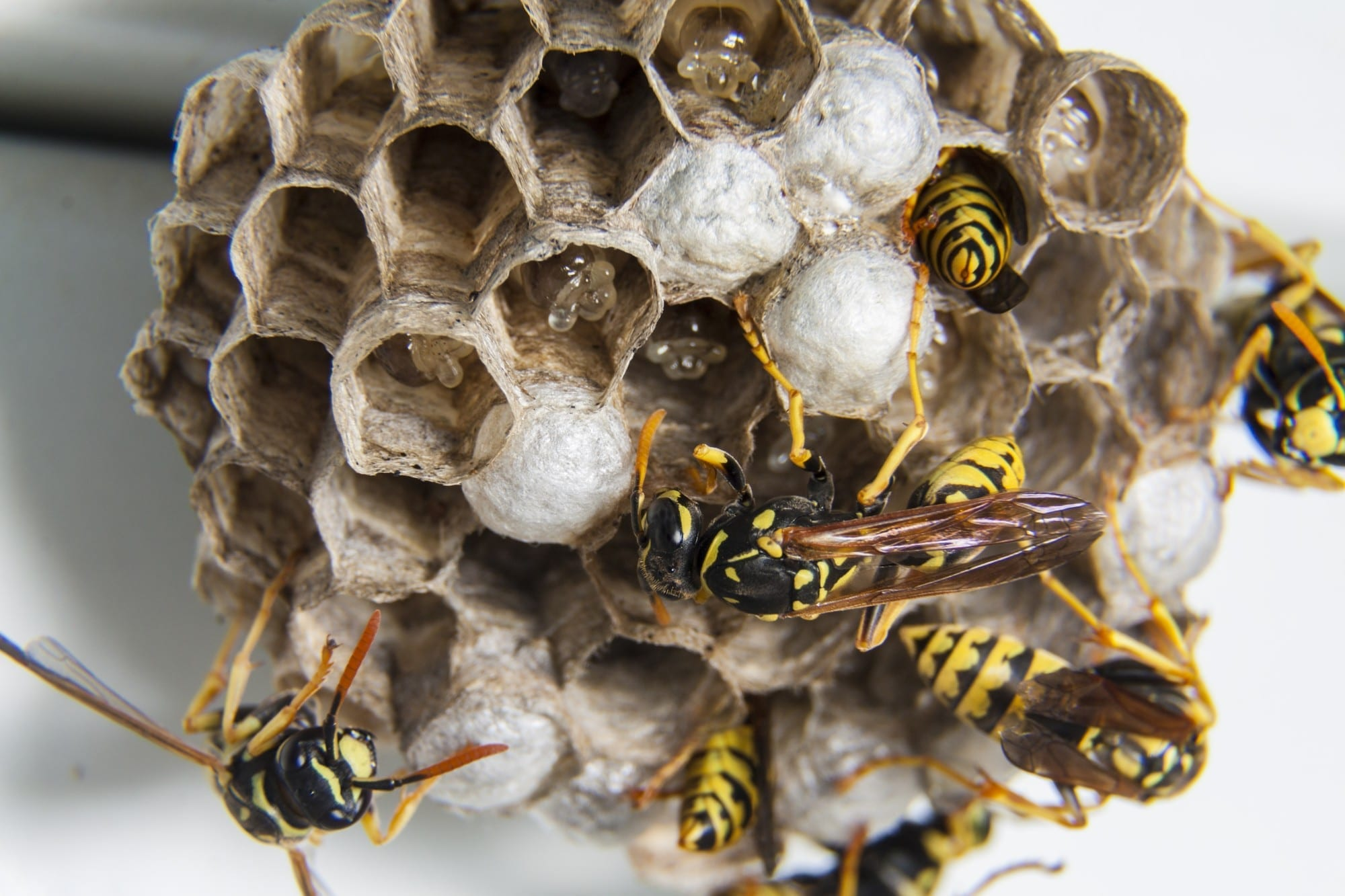 what attracts wasps